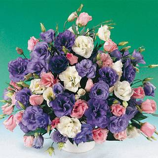 Parks Double Lisianthus Combination (pack of 3)