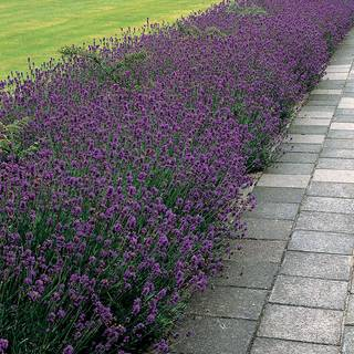 Munstead Lavender Plants (pack of 3)