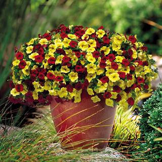 Calibrachoa Trixi® Brass Band