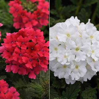 Verbena EnduraScape™ White + Pink Combination