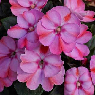 Sunpatiens® Compact Pink Candy