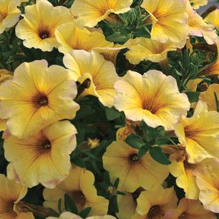 Petunia SuperCal® Light Yellow (Pack of 3)