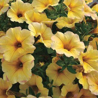 Petunia SuperCal® Light Yellow