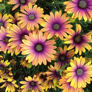 African Daisy Zion™ Purple Sun