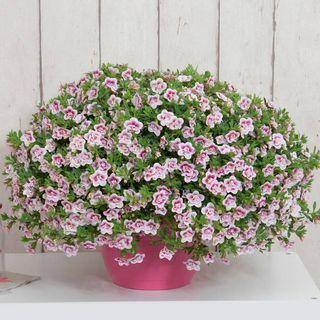 Calibrachoa MiniFamous® Uno Double Pinktastic