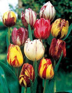 Tulip Rembrandt Mix