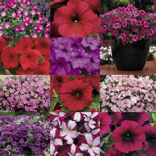 Wave Petunia Seed Collection