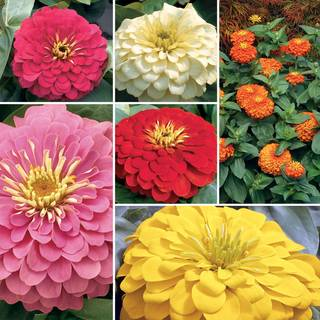 Magellan Zinnia Seed Collection