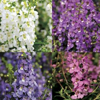 Serena ™ Angelonia Seeds Collection