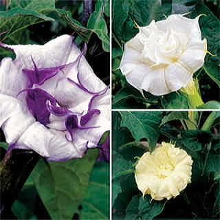 Ballerina Angels Trumpet Seed Collection