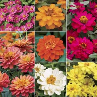 Profusion Double-flowered Zinnia Seed Collection