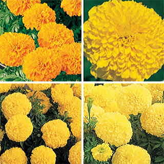 Inca II Marigold Seeds Collection