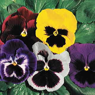 Parks Whopper Pansy Seeds Collection