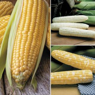 Triplesweet Corn Seeds Collection