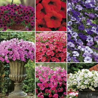 Shock Wave™ Petunia Seed Collection