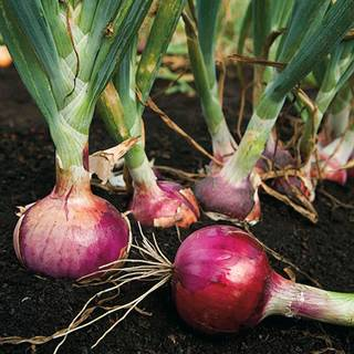Red Candy Apple Hybrid Onion Plants