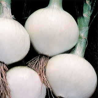 Sterling Hybrid Onion Plants