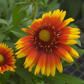 Arizona Sun Blanket Flower