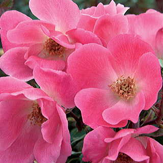 Pink Knock Out® Shrub Rose