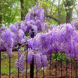 Blue Moon Wisteria