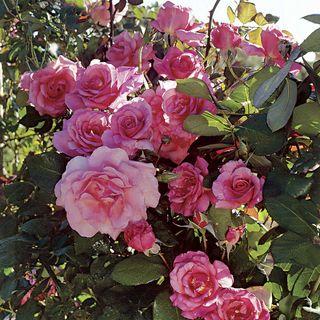 Social Climber Climbing Rose