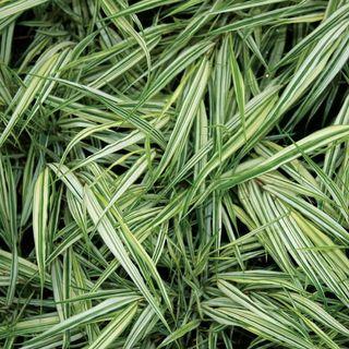 Fubuki Hakone Grass