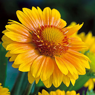 Arizona Apricot Blanket Flower