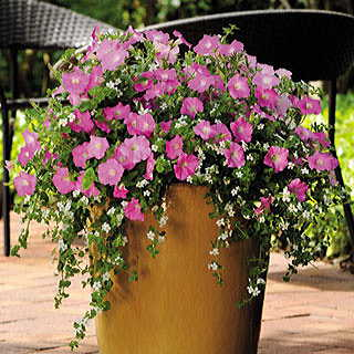 Silk n Satin Petunia and Bacopa Seeds