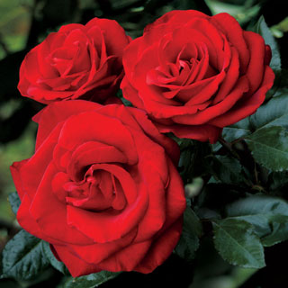 Always and Forever® Hybrid Tea Rose