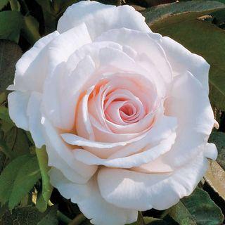 Clouds of Glory Hybrid Tea Rose