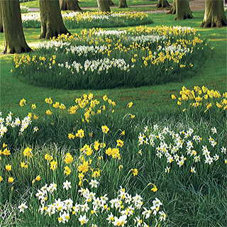 Narcissus Naturalizing Mix