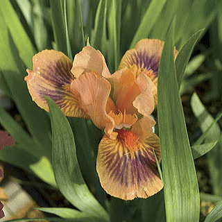 Absolute Joy Dwarf Bearded Iris