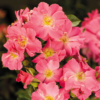 Beach Blanket™ Groundcover Rose