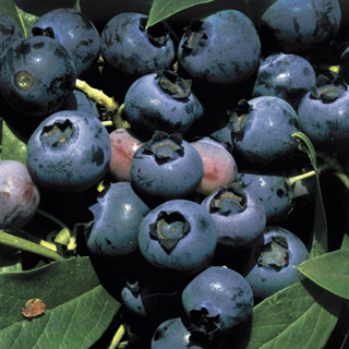 Blueberry ONeal