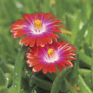 Jewel of Desert Garnet Iceplant