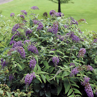 Buddleia Lo & Behold® Purple Haze