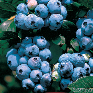 Vaccinium 'Tophat' Blueberry Image