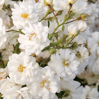 Wedding Dress® Groundcover Rose