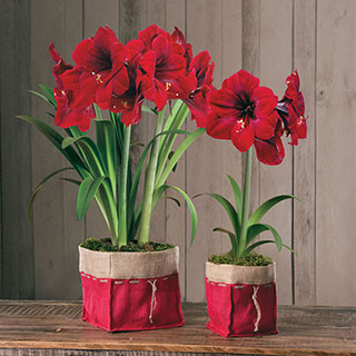Special Delivery Amaryllis Gift
