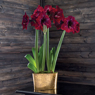 Golden Glow Grand Diva® Amaryllis Gift