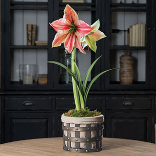 Winter Has Come Amaryllis Gift