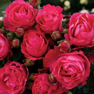 Fiji™ Hybrid Tea Rose