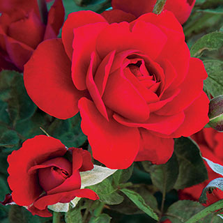 Obsession™ Floribunda Rose