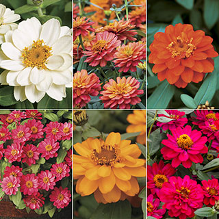 Zinnia Profusion Double Collection