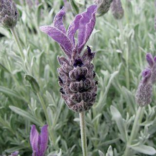 Silver Anouk Lavender