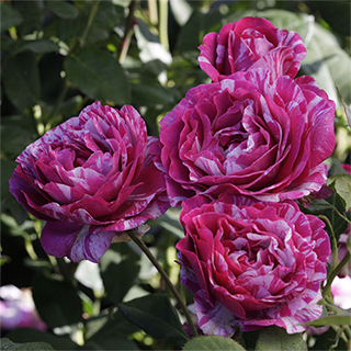 Show Your Stripes Grandiflora Rose