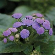 Aloha Blue Hybrid Ageratum Floss Flower Seeds