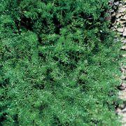 Roman Chamomile Seeds