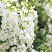 Serena® White Angelonia Seeds image