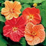 Crepe de Chine Hybrids Mix Flowering Maple Seeds